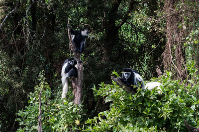 Colobus monkeys near the Lomoroso Gate, Kilimanjaro, Tanzania.
