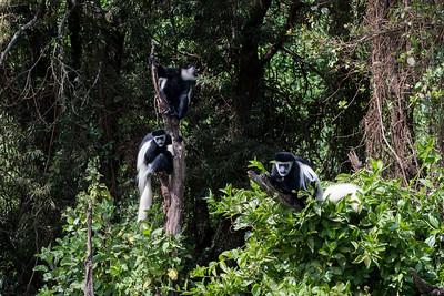 Colobus monkeys near the Lomoroso Gate, Kilimanjaro, Tanzania.