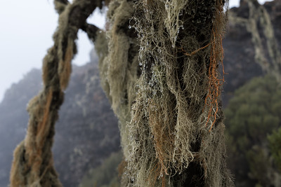 Bearded lichen catches mist, and the drops nourish the tree and other plants under the canopy.