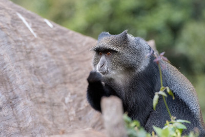 A blue monkey makes the rounds at Forest Camp.
