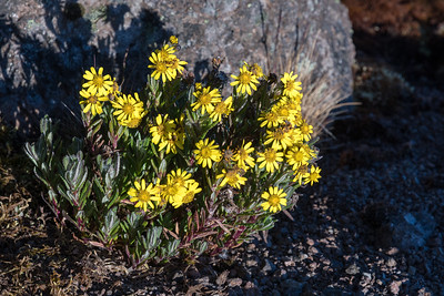 Helichrysum newii (one type of Everlasting) blooms at Lava Tower despite the freezing nighttime conditions.