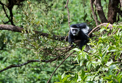 A baby Colobus monkey near the Lomoroso Gate, Kilimanjaro, Tanzania.