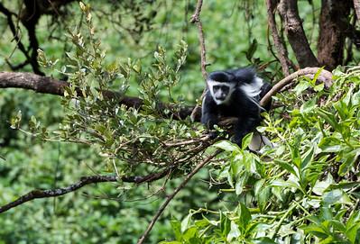 A baby Colobus monkey near the Lomoroso Gate, Kilimanjaro, Tanzania.