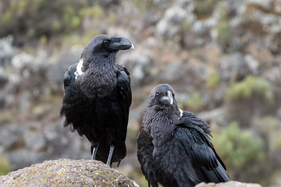 White-necked ravens are ubiquitous in every campsite.