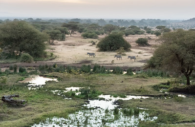 Zebra at the watering hole - Ndarkwai Ranch, Tanzania