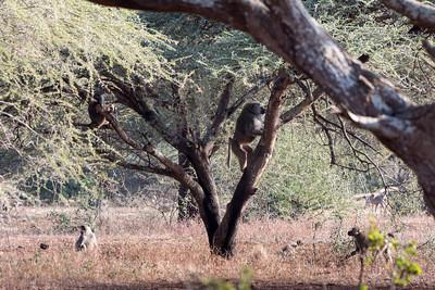 Baboons climb a tree - Ndarkwai Ranch, Tanzania