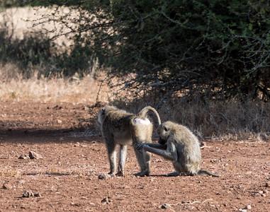 Baboons grooming - Ndarkwai Ranch, Tanzania
