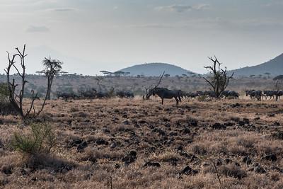 Wildebeest at Ndarkwai Ranch, Tanzania
