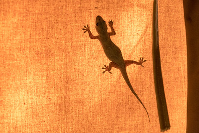 Gecko on inside of tent wall, with sunshine - Ndarkwai Ranch, Tanzania