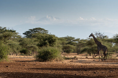 Giraffe at Ndarkwai Ranch, with Mount Meru in distance - Tanzania