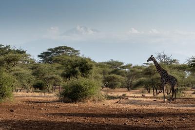Giraffe at Ndarkwai Ranch, with Mount Meru in distance - Tanzania