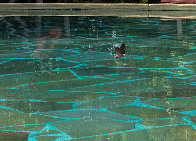 Acrobatic birds swoop in at high speed to drink from the pool.