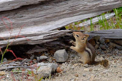Chipmunk at Mt St Helens