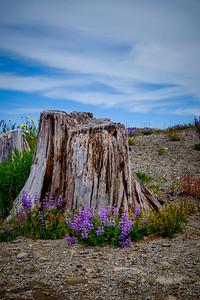 Mt St Helen's Wildflowers