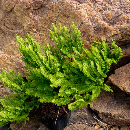 Ferns growing in a niche of the rock fed by meltwater falling down the valley wall.