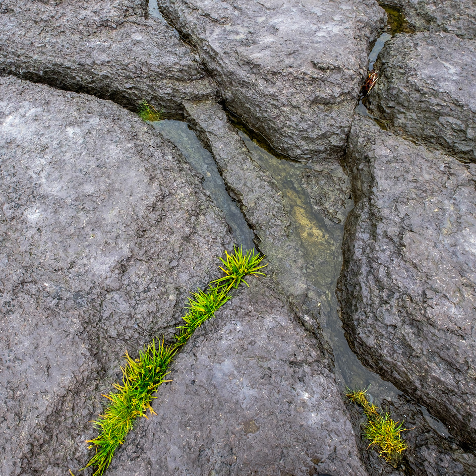 Marine vegetation growing in a limestone crack at Port-au-Choix National Historic Site.