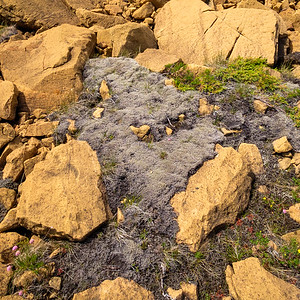 A patch of so-called Dead Sheep Moss about 1M across, with is rough and try to the touch but instantly turns to soft green texture when covered with water.