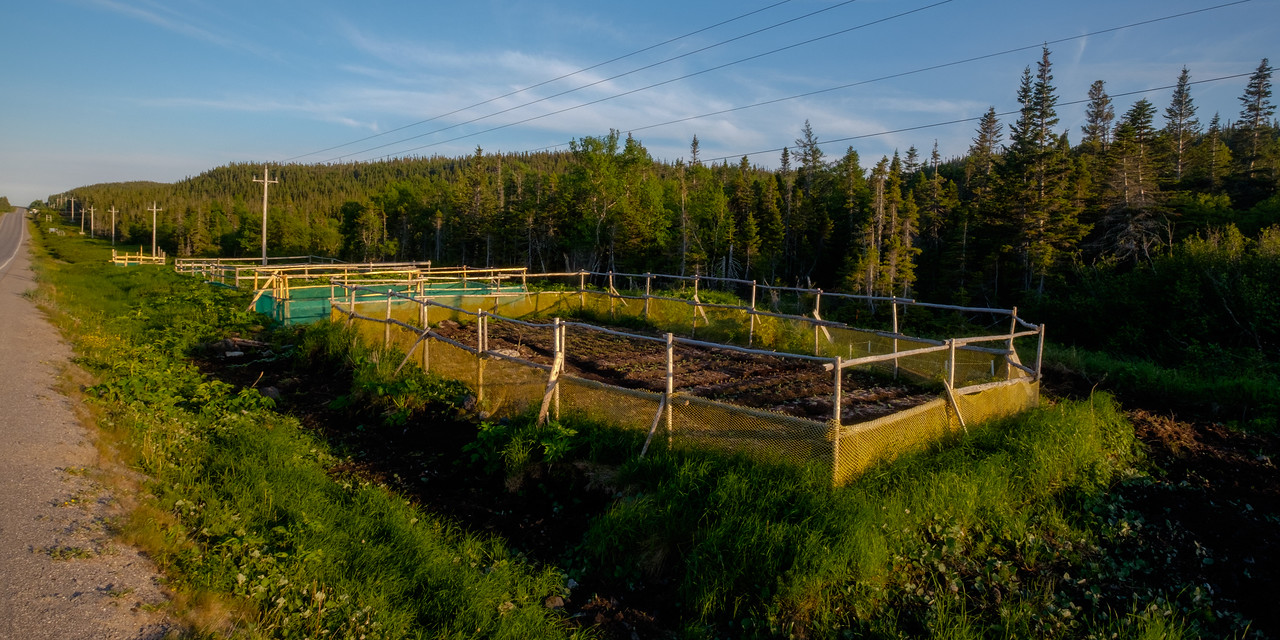 A typical sight in northern Newfoundland is protected garden plots alongside the roadways. This is because these areas tend to be flat, cleared, reasonably drained, and easily accessible, whereas most Newfoundland houses are built along the coasts which are inhospitable to gardening.