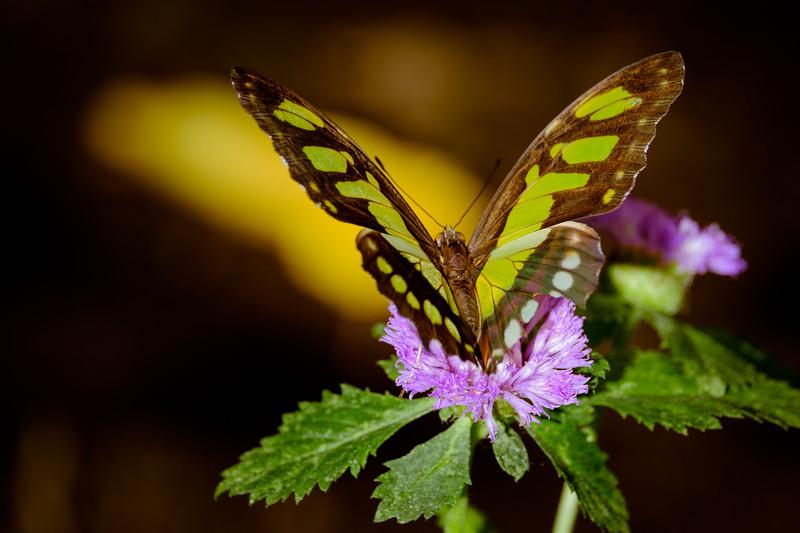 Malachi Butterfly