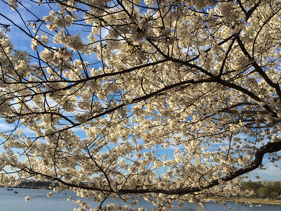 Cherry blossoms around the Tidal Basin, Washington DC