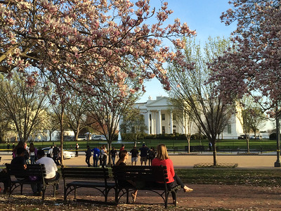 The White House during Cherry Blossum season.