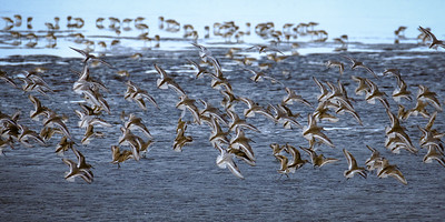 Sandpipers Burst into Flight