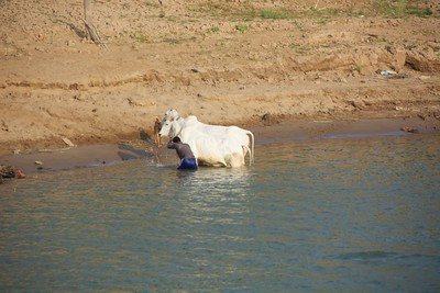 How to wash a cow...