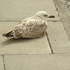 Contented gull