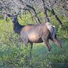 elk in the yard in Pagosa