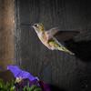 Female Broad tailed hummingbird