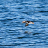 Puffin tour - did not get very close