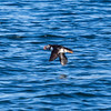 Puffin tour - too far away for good photo