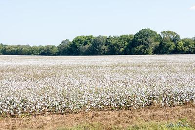 Wheeler, Alabama, Cotton field