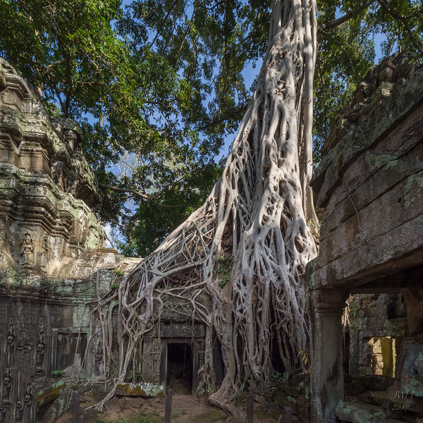 Cotton tree roots of Ta Prohm