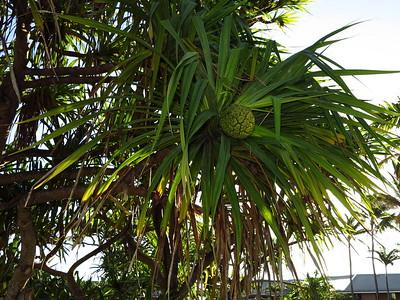 Pū hala tree, Pandanus tectorius