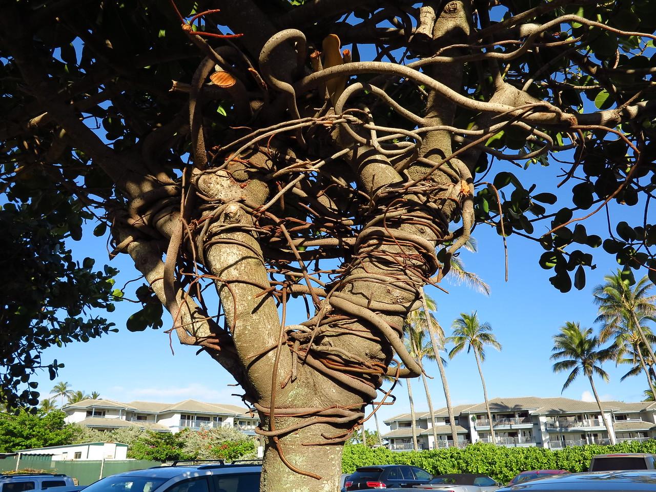 Clusia rosea – Autograph Tree