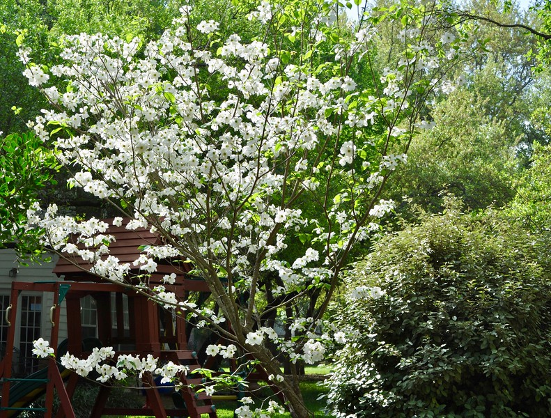 We'd like to start & end the day with Patti's Dogwood tree.  Here's a look at 10:00 am.  Stunning.