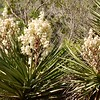 Flowering Yucca plant