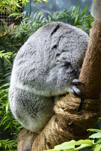 The koala always seems to be sleeping when we see him.