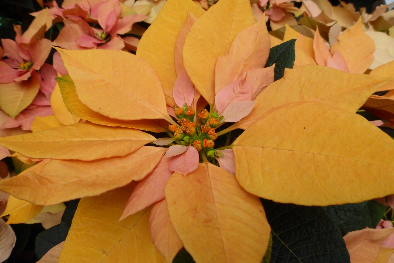Orange Poinsettia