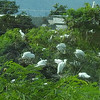 African cattle egrets nest high to stay away from the Mongoose