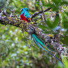 Resplendent Quetzal - this is the male. The female is more green (rather than turquoise), and doesn't have the long tail feathers