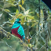 Resplendent Quetzal - view through Marino's scope