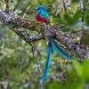 Resplendent Quetzal - this was one of the reasons we went to Savegre