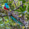 Resplendent Quetzal - had to be out by 5:30 am to try to see them...they eat very early in the morning
