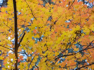 Fall colors, West fork trail, Oak Creek Canyon