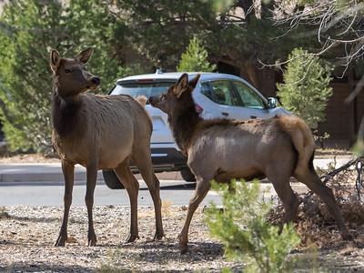 Mule Deer at Yavapai Lodge