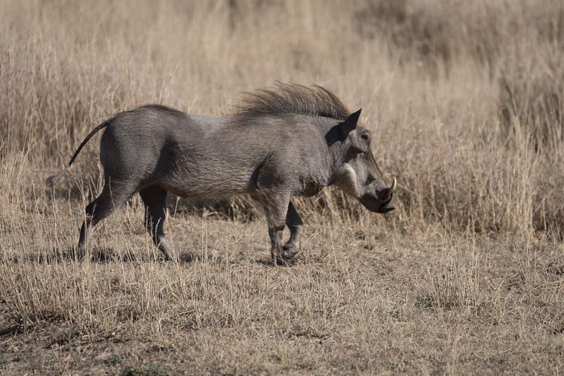 Warthog on the move
