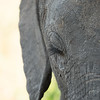 African Elephant with eyelashes
