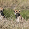 Cheeta Cubs Look for Mom